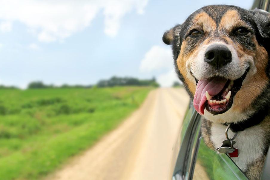 56eced69ce97 Σκύλος και αυτοκίνητο..! Πως να τον βοηθήσετε να ξεπεράσει τις φοβίες του